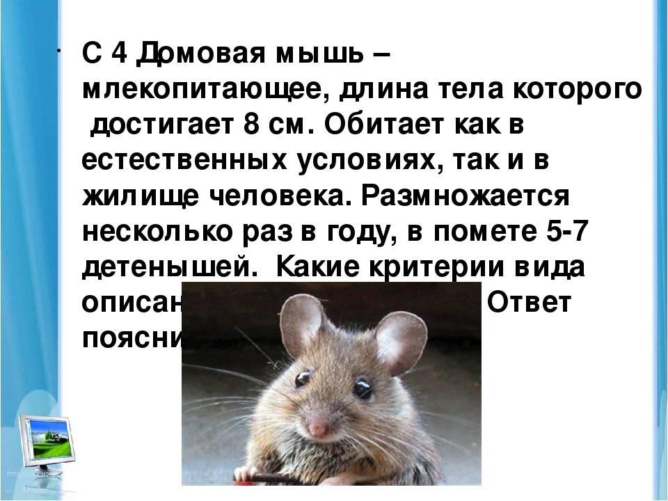 В доме живут мыши.  чем опасно такое соседство и как от него избавится?