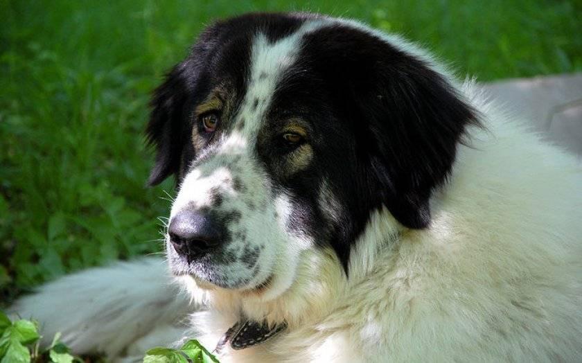 Овчарки (50 фото): виды пород щенков. описание маленьких, шилонских, хорватских, баскских и других разновидностей овчарок