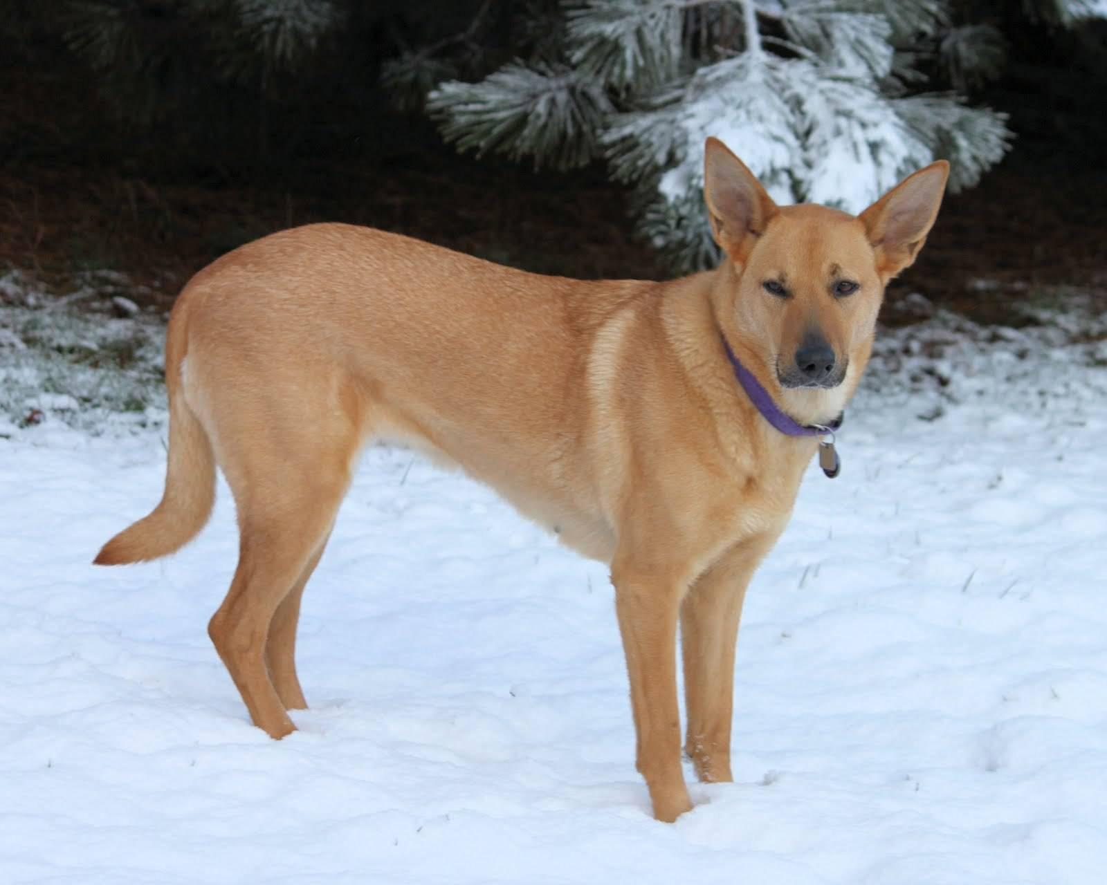 Чинук: 115 фото и видео описание породы. видео советы по уходу владельцев собак и кинологов