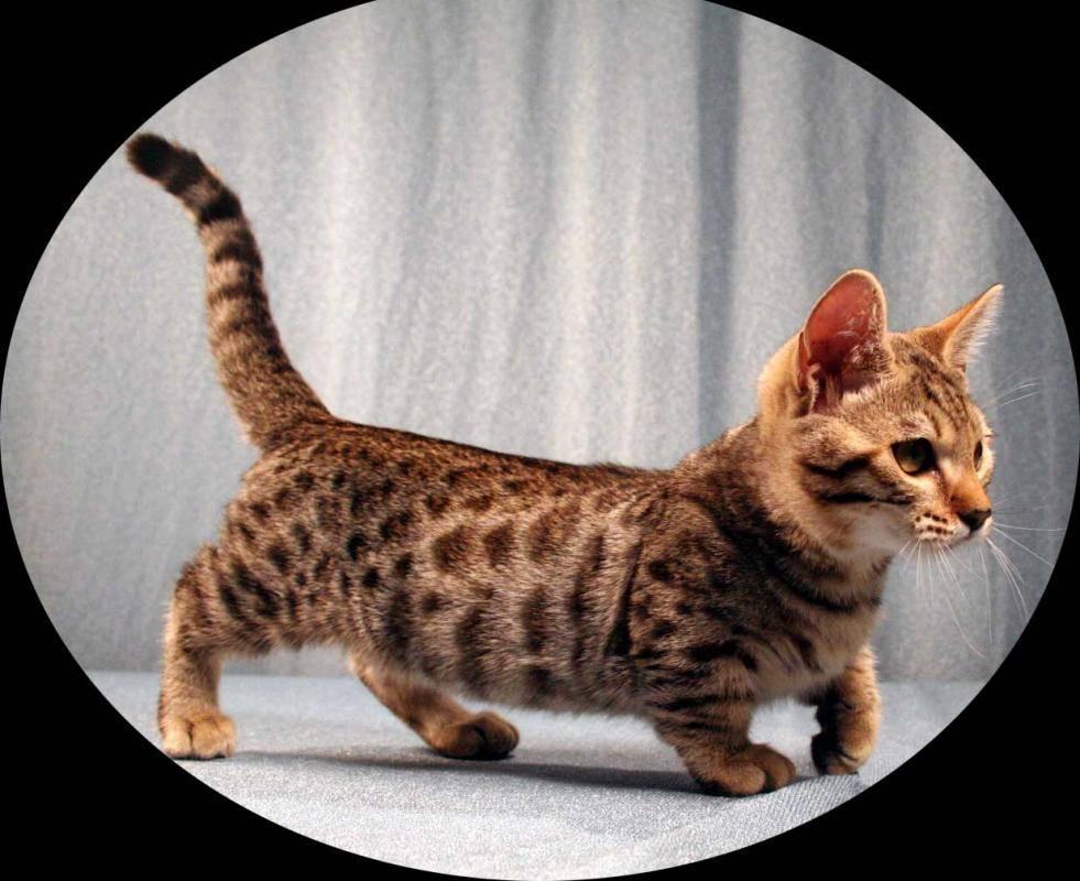Милые крохи: самые маленькие породы кошек