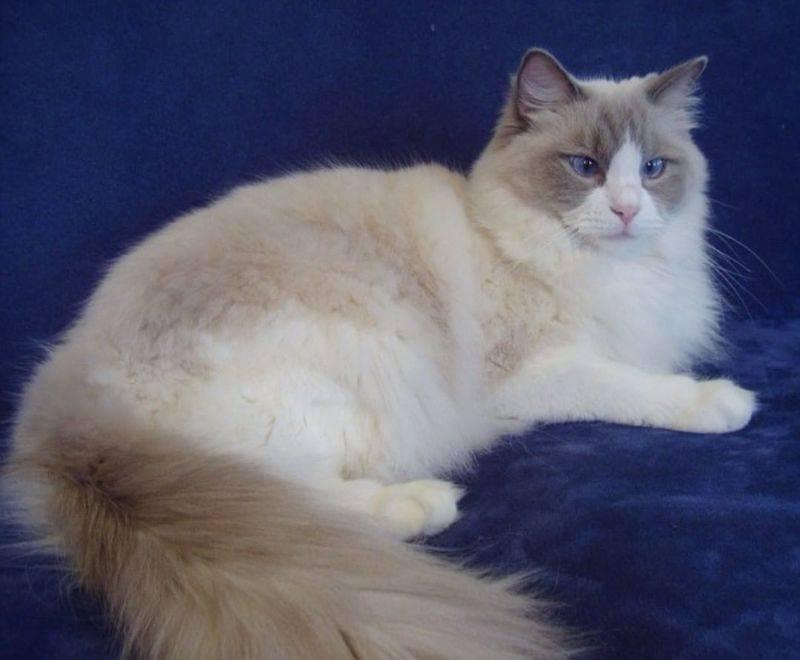 Рагамаффин: фото кошки, цены, описание породы, характер, видео рагамаффин: фото кошки, цены, описание породы, характер, видео