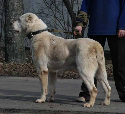 Собака волкодав: характеристика, какие породы собак относятся к волкодавам