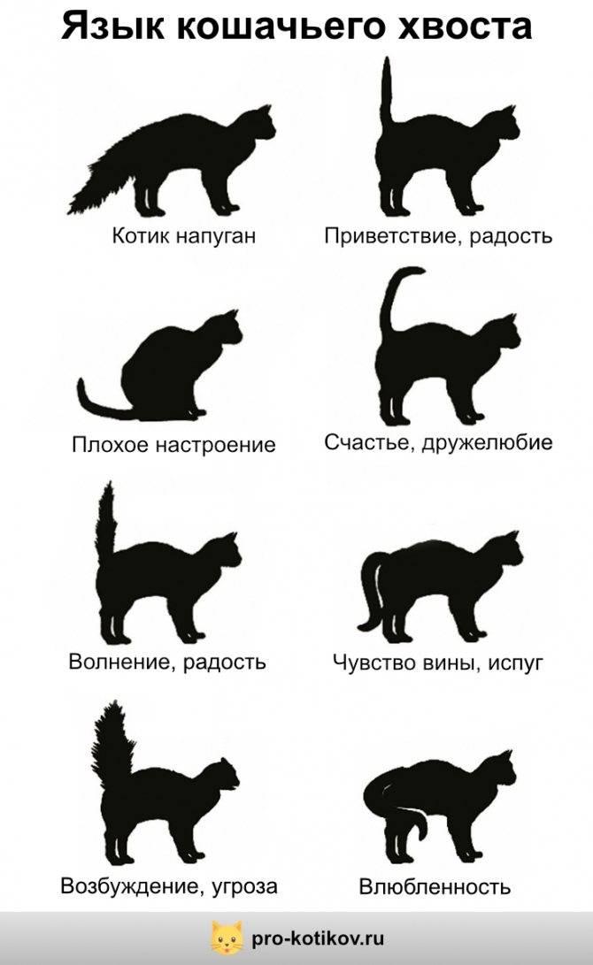 Почему у котенка хвост трубой