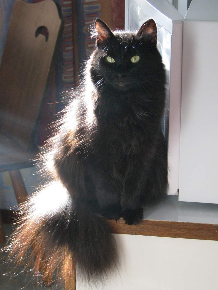 Кошка породы шантильи тиффани