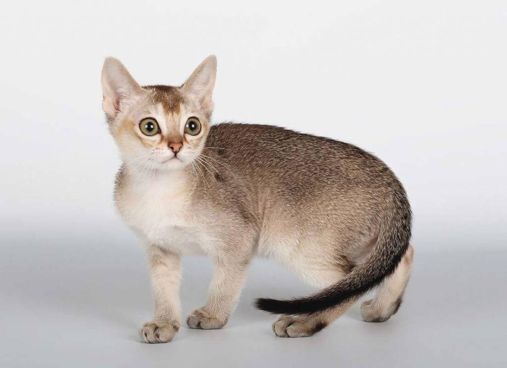 Сингапурская кошка - фото и описание породы (характер, уход и кормление)