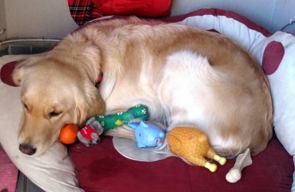 """Течка у собак - симптомы, что делать, сколько длится. ветеринарная клиника """"зоостатус"""""""