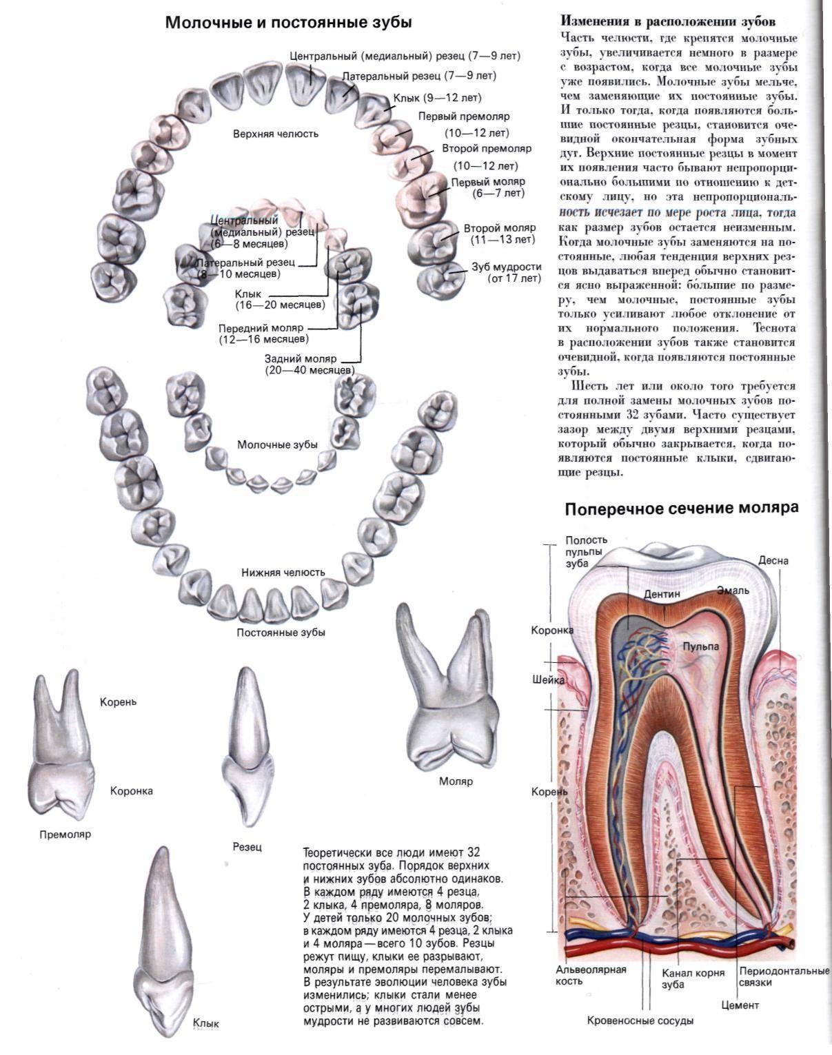 Читать книгу стоматология собак в. в. фролова : онлайн чтение - страница 3