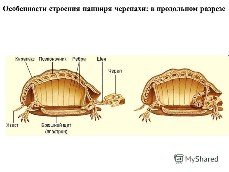 Востребованные и адаптированные разновидности домашней черепахи: разбираемся во всех подробностях