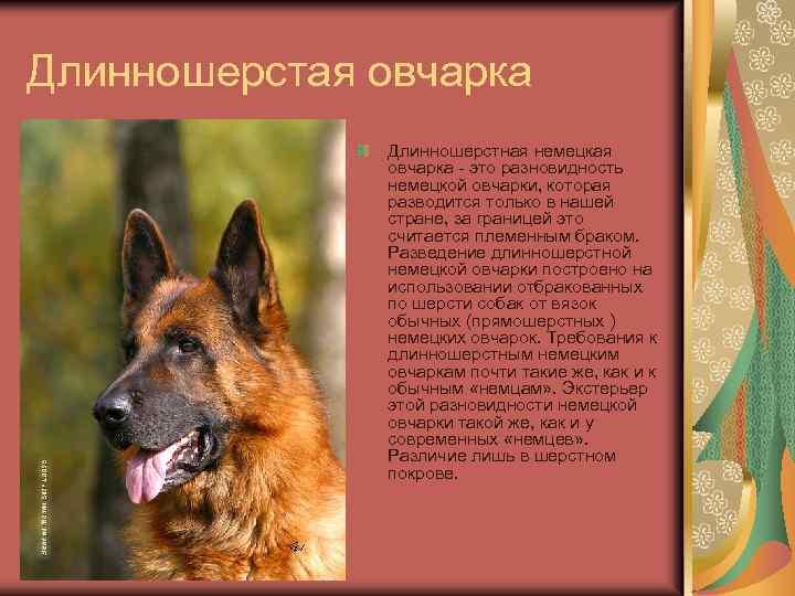 Как отличить щенка немецкой овчарки от помеси, от дворняги, от восточно европейской овчарки