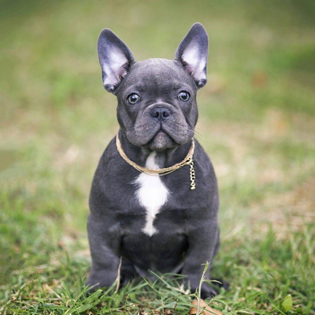 Французский бульдог - описание породы и характер, черный, голубой и другие окрасы, как воспитывать, отзывы