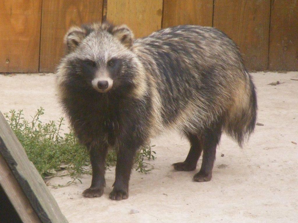 Места обитания енота в россии и описание жизни животного