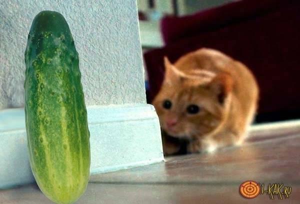 Почему коты и кошки боятся огурцов: правда или миф, в чем причина возникновения страха у взрослых животных и котят, как избавиться