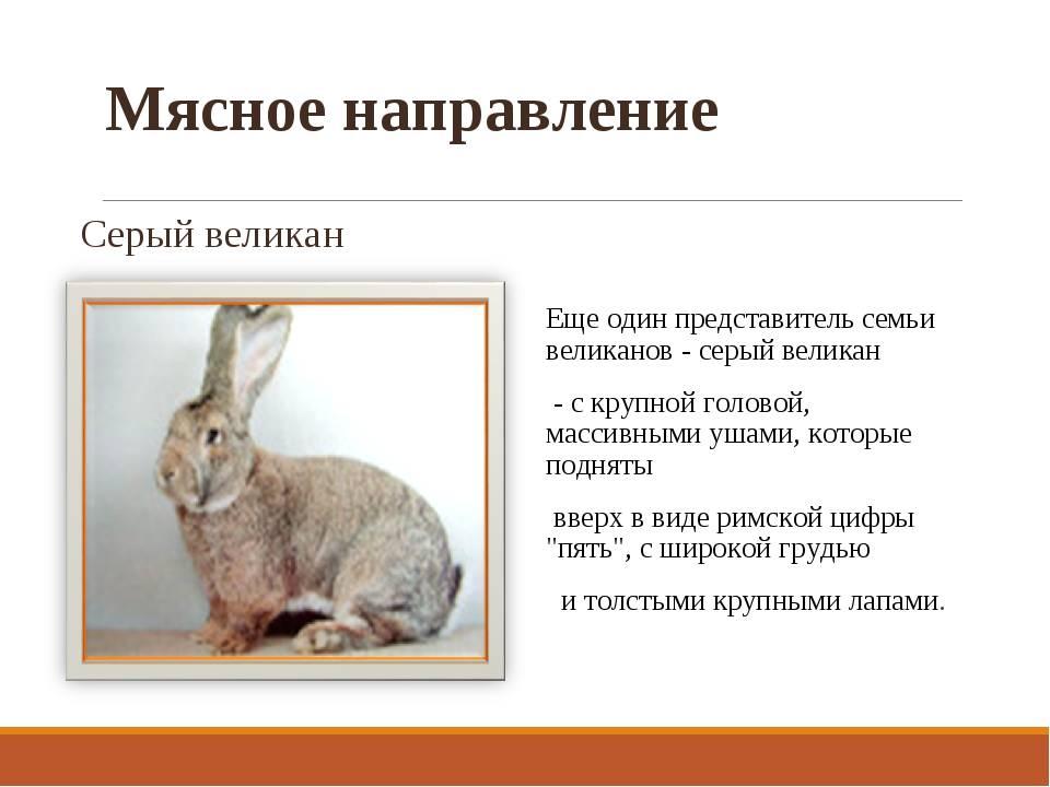 Кролик серый великан: описание породы, характеристика, особенности ухода и разведения