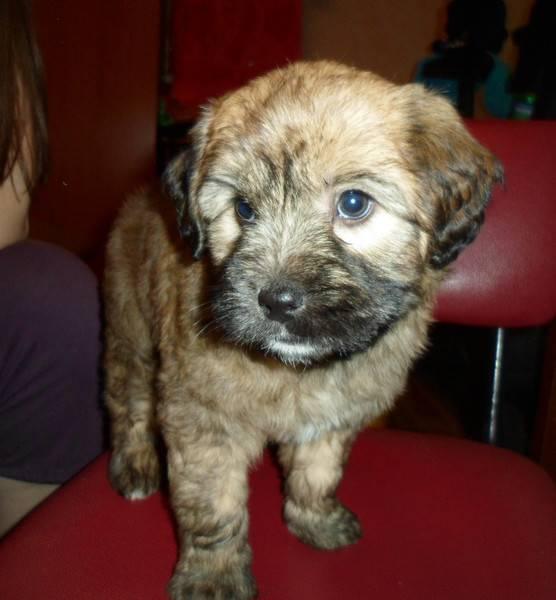 ᐉ как узнать породу собаки по фото, как определить породистый щенок или нет? - zoomanji.ru