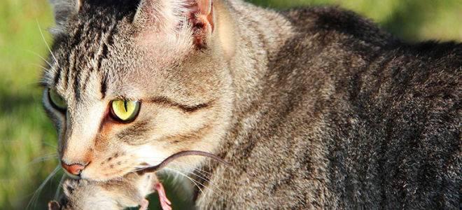 Кошки-крысоловы: лучшие породы