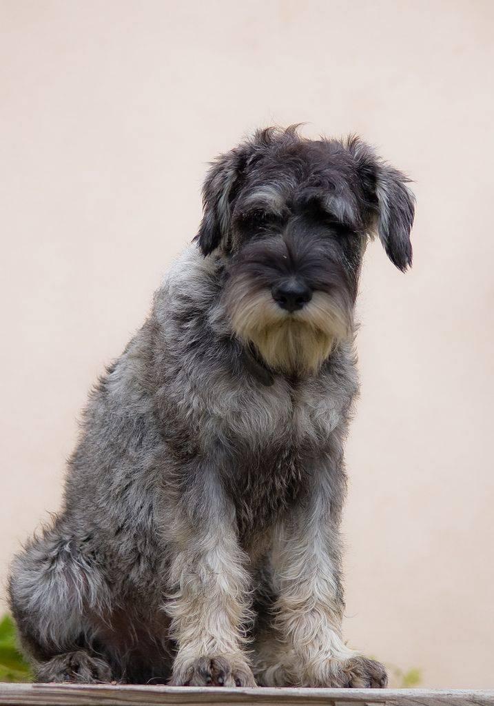 Миттельшнауцер собака. описание, особенности, уход и цена миттельшнауцера | sobakagav.ru