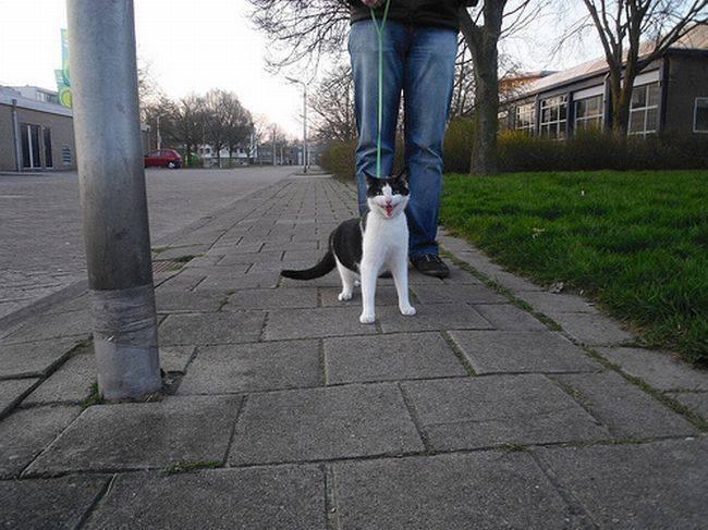 Можно ли и нужно ли гулять с кошкой?
