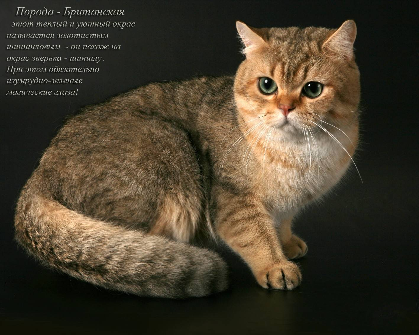Самые ласковые породы кошек (56 фото): топ самых добрых, спокойных и ручных пород для детей. котов каких пород считают самыми ласковыми и умными в мире?