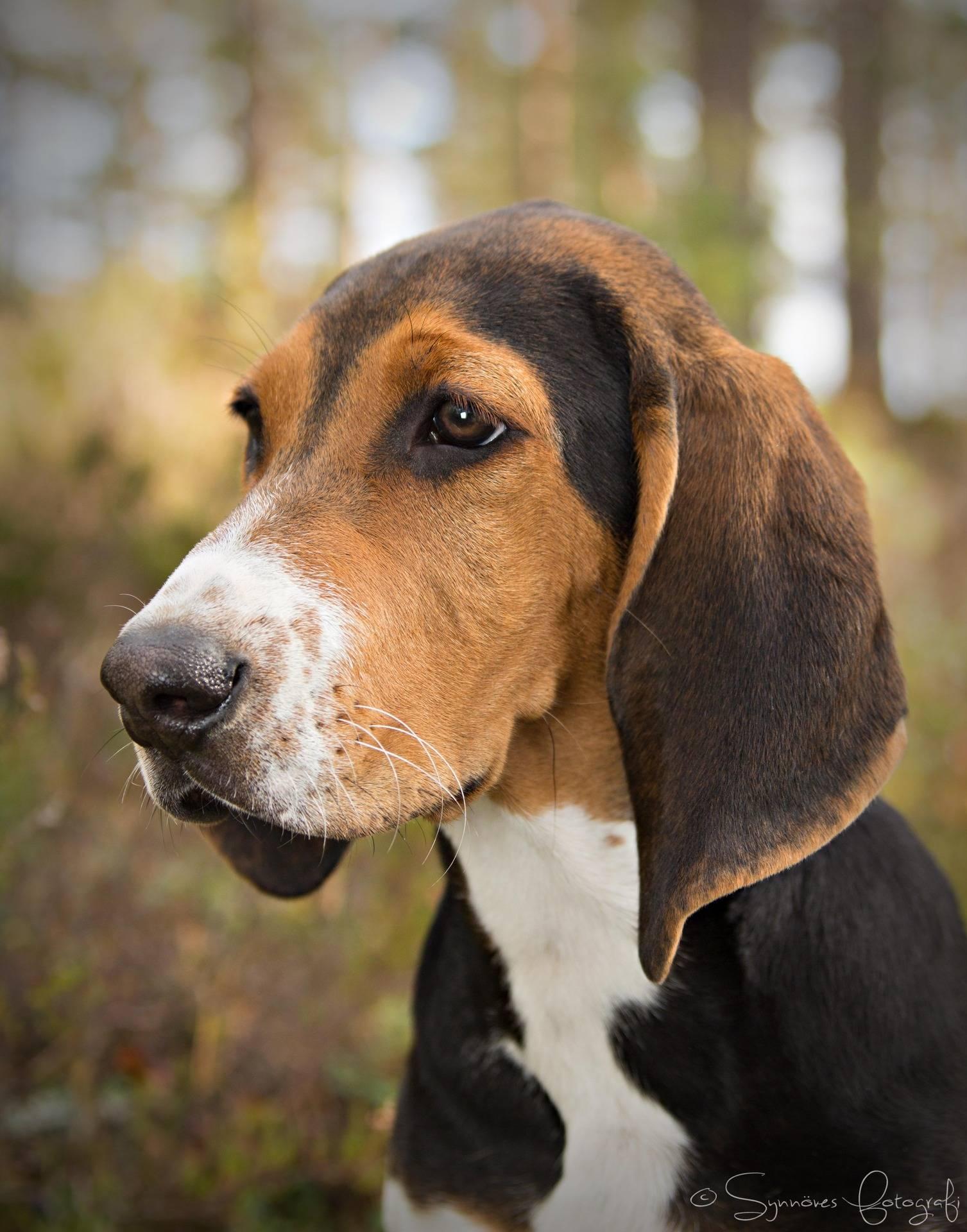 Охотничьи породы собак с фотографиями и названиями - 15 лучших пород для охоты.