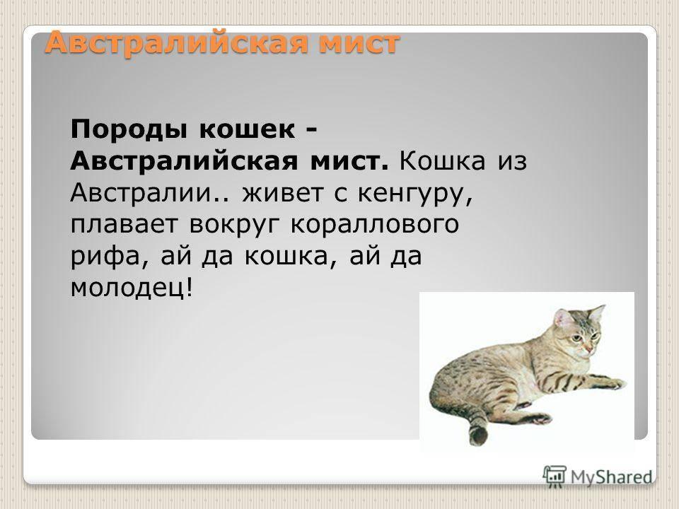Австралийский мист: особенности и стандарты породы, характер и нюансы содержания, где покупать котенка
