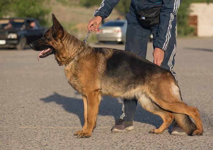 Клички для собак мальчиков немецкой овчарки: как назвать щенка