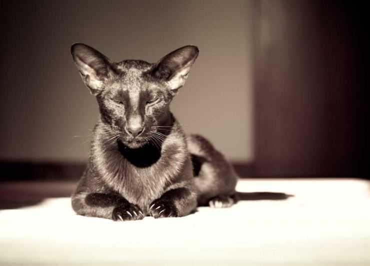 Ориентальная кошка. описание, особенности, цена и уход за ориентальной кошкой