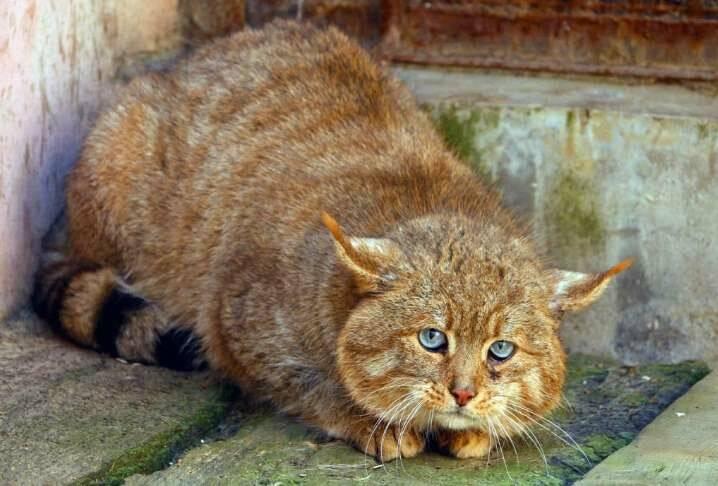 Китайская горная или гобийская серая кошка