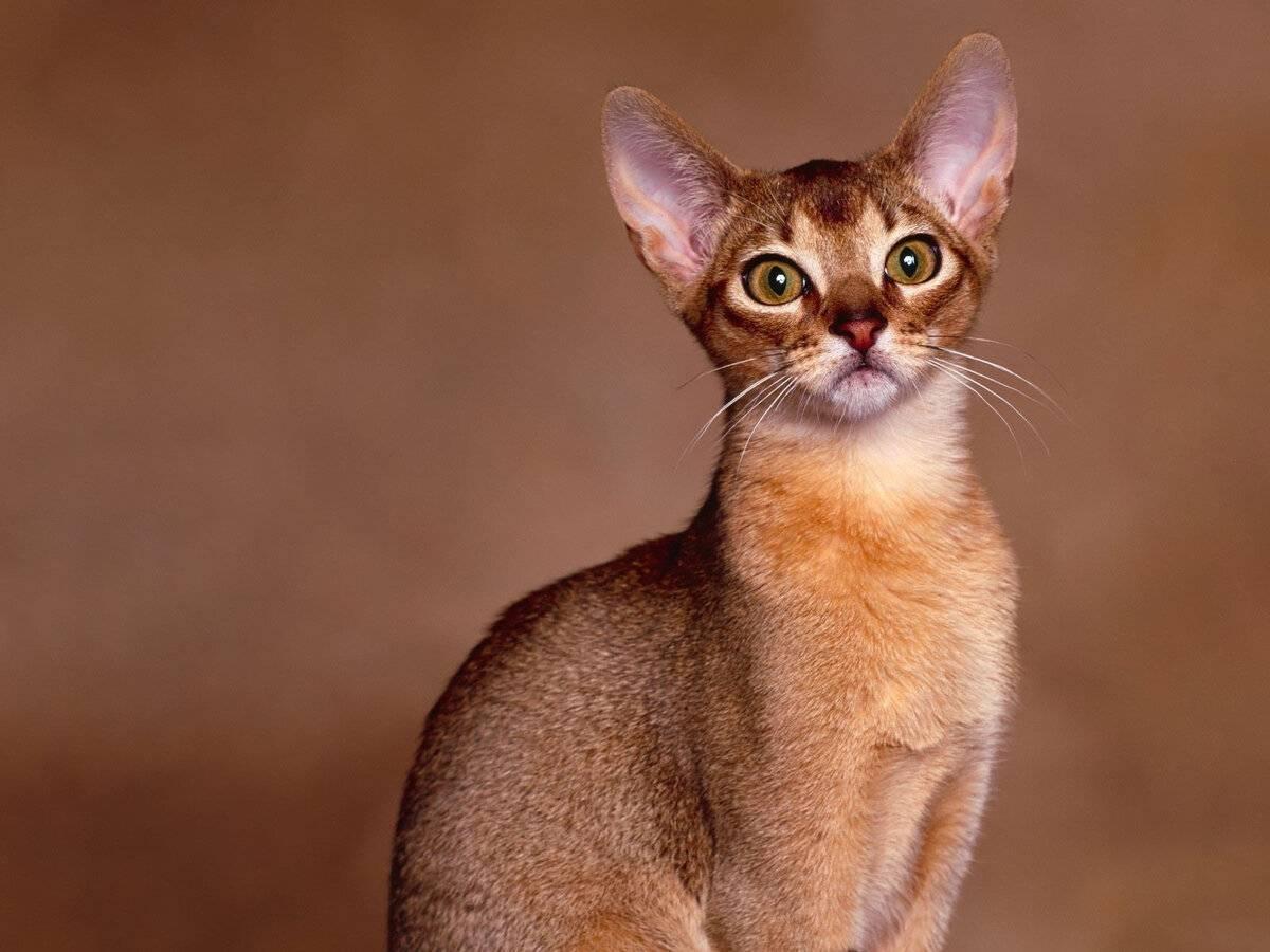 Абиссинская кошка — истоки породы, описание, особенности, уход + 88 фото