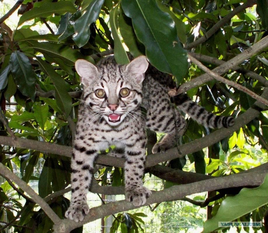Кошка породы сафари: стандарты, характер и особенности ухода