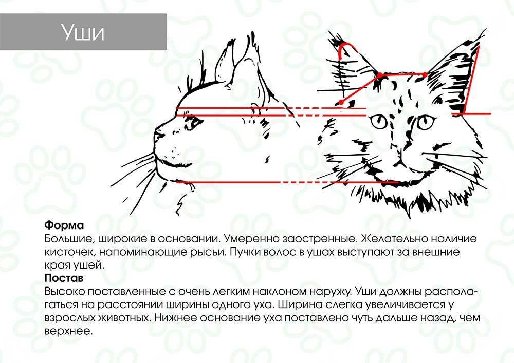 Как самостоятельно определить пол котенка
