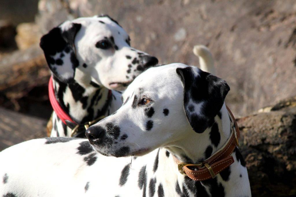 Собака далматинец: характеристика, описание породы и характер далматина