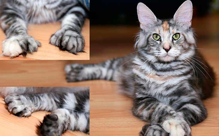 Перелом лапы у кошки - симптомы и лечение | берлога