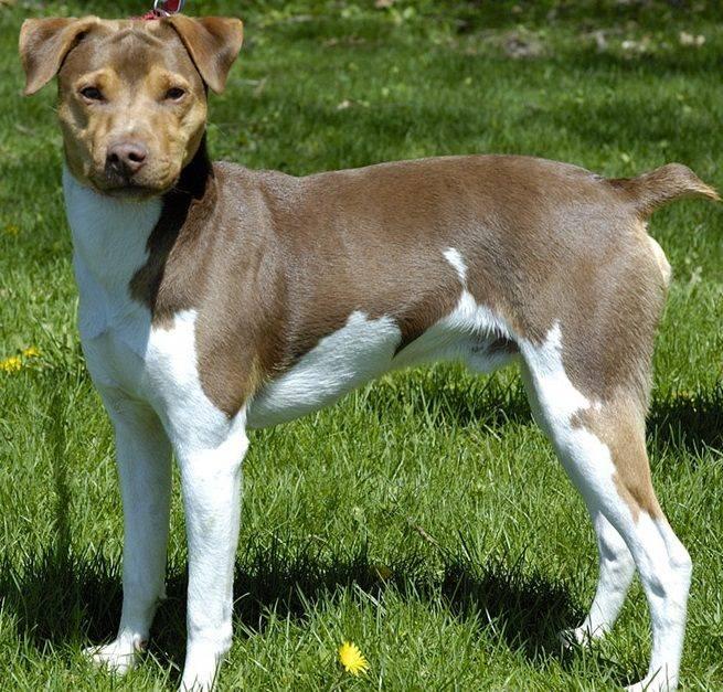 Фила бразилейро: как выглядит бразильский мастиф, содержание собаки и уход за ней, выбор щенков и цены, фото и отзывы владельцев