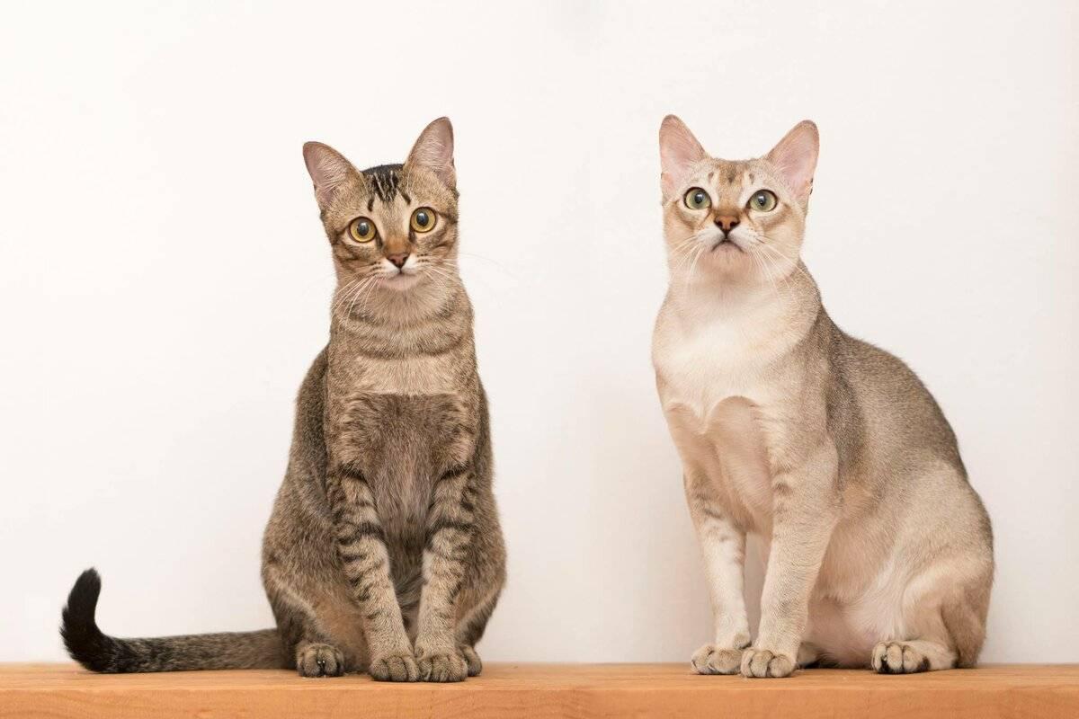 Кошка сомали – описание породы, существующие окрасы и цены на животных
