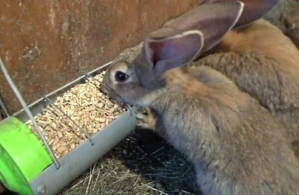 ✅ почему крольчиха родила одного крольчонка - питомник46.рф