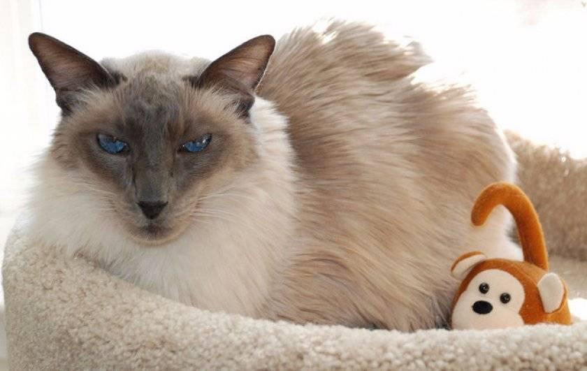 Балинезийская кошка: история, описание, уход и содержание, фото