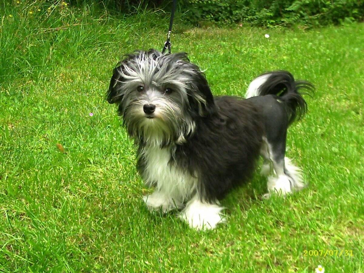 Малая львиная собака — википедия. что такое малая львиная собака