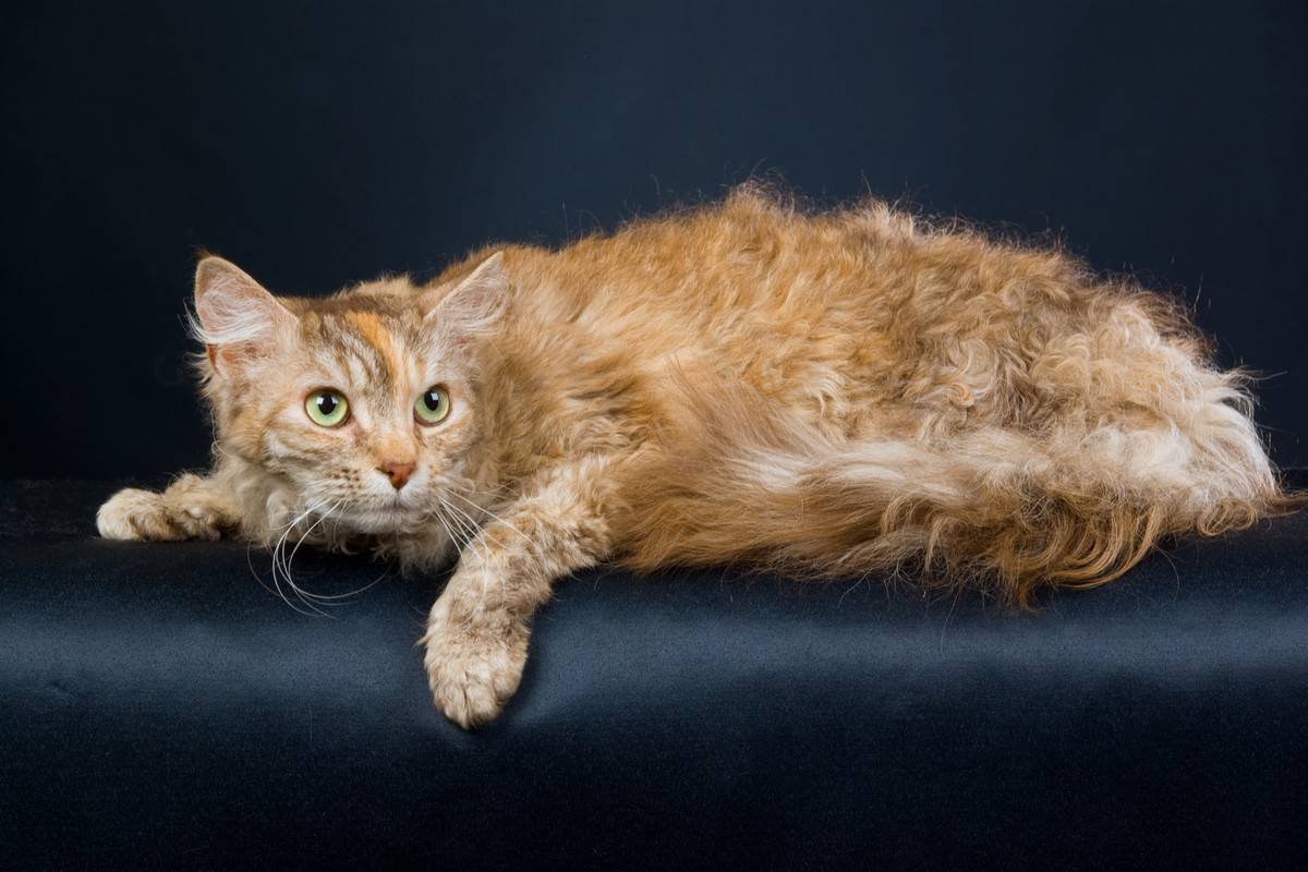 Лаперм: фото кошки, цена, характер породы, описание, видео лаперм: фото кошки, цена, характер породы, описание, видео