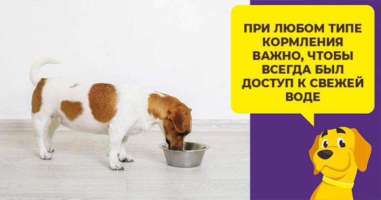 Чем и как кормить джек-рассел-терьера: здоровый рацион щенка и взрослой собаки