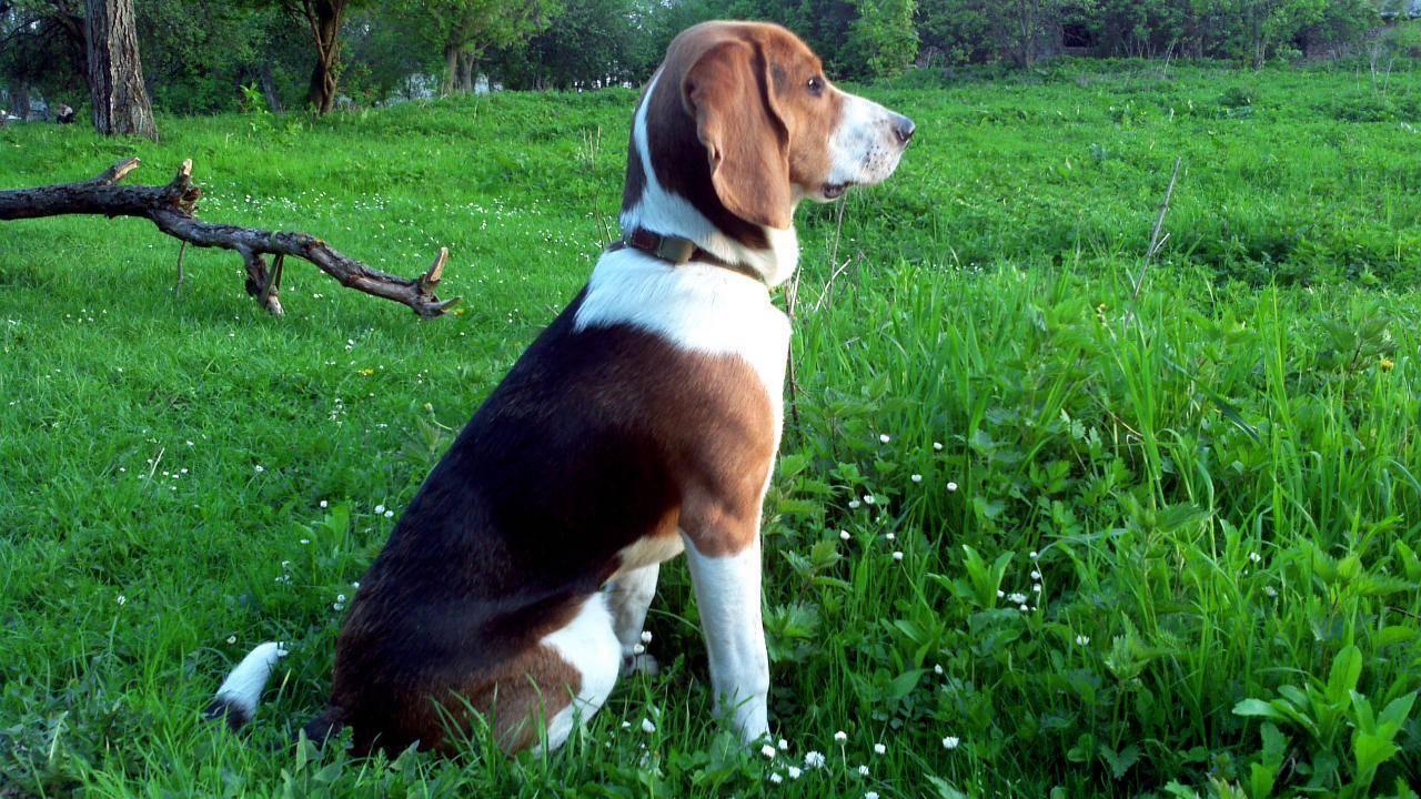 Эстонская гончая собака: стандарты окраса, описание, характер
