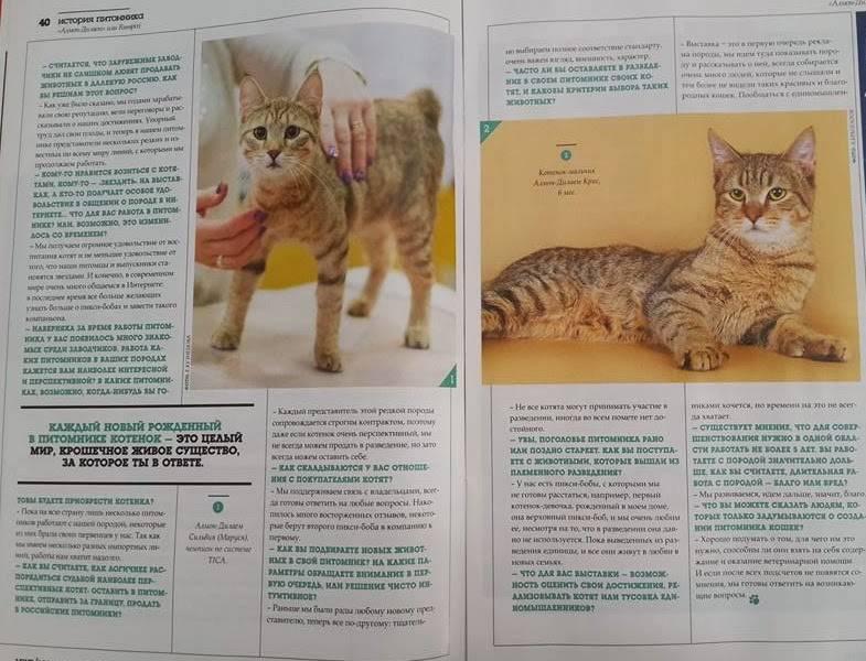 Пиксибоб: 140 фото + полное описание породы от а до я. отзывы владельцев + цена на котят