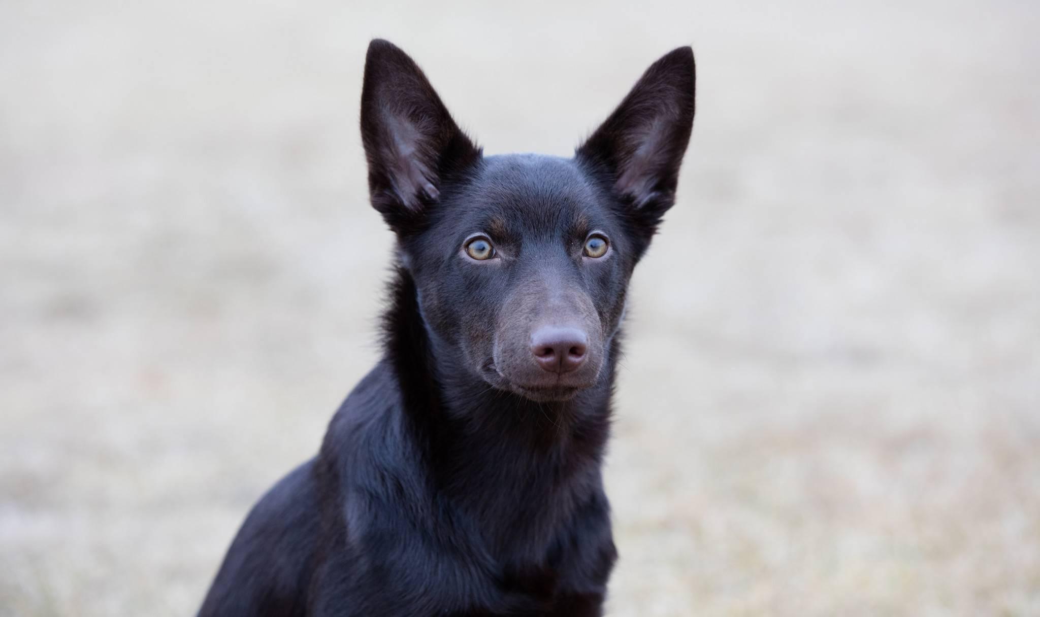 Келпи. о породе собак: описание породы келпи, цены, фото, уход