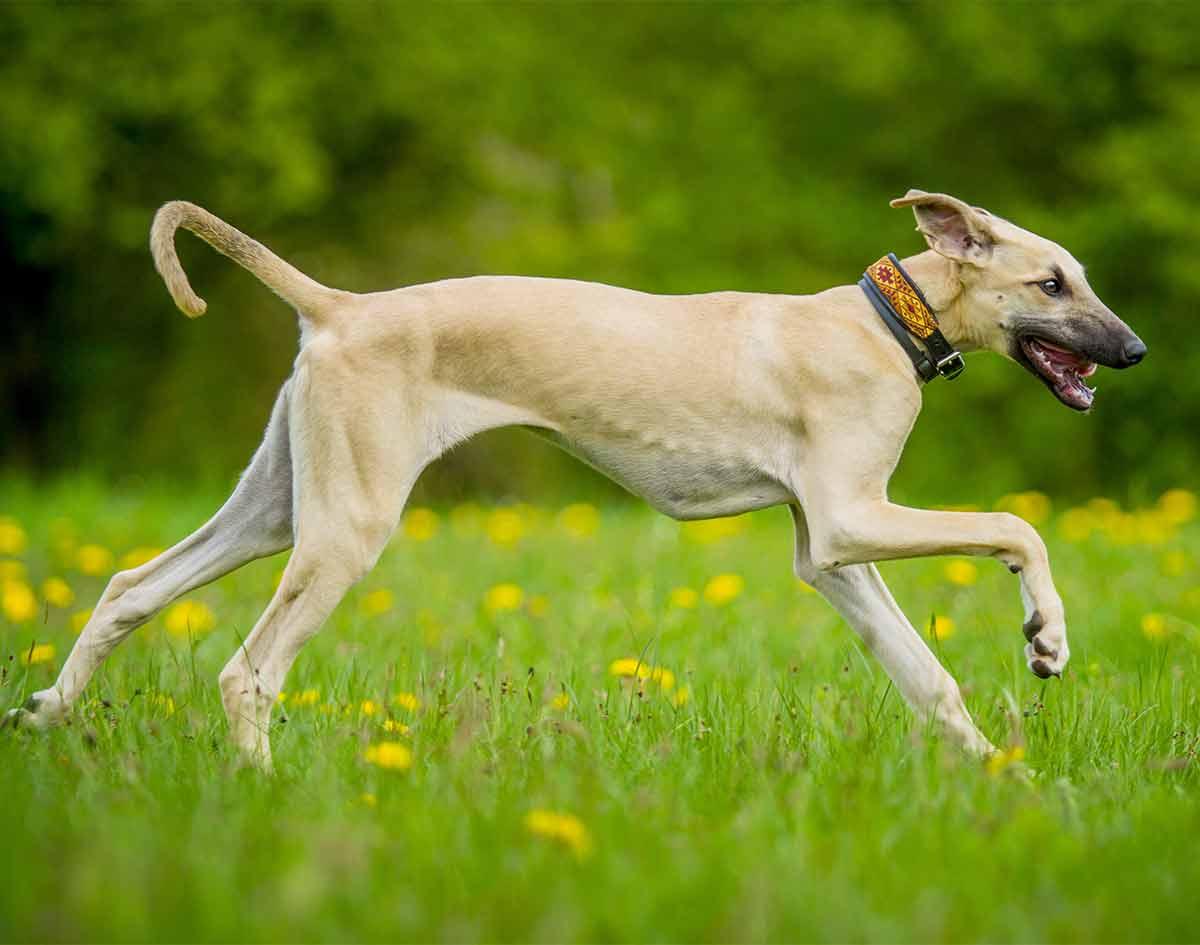 Порода собак слюги - описание, характер, характеристика, фото слюги арабской борзой и видео, цена