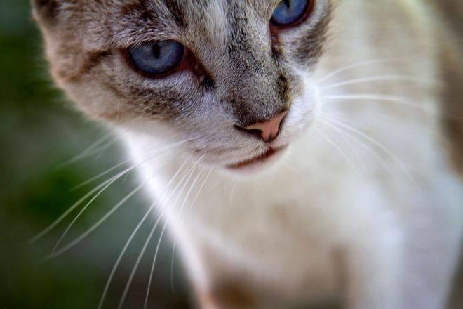 Особенности внешности, характера и содержания кошек сноу шу
