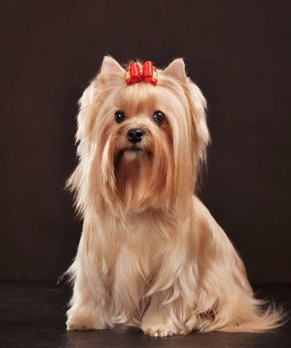 Русская салонная собака википедия