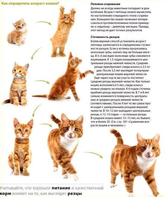 До какого возраста растут коты – pet-mir.ru
