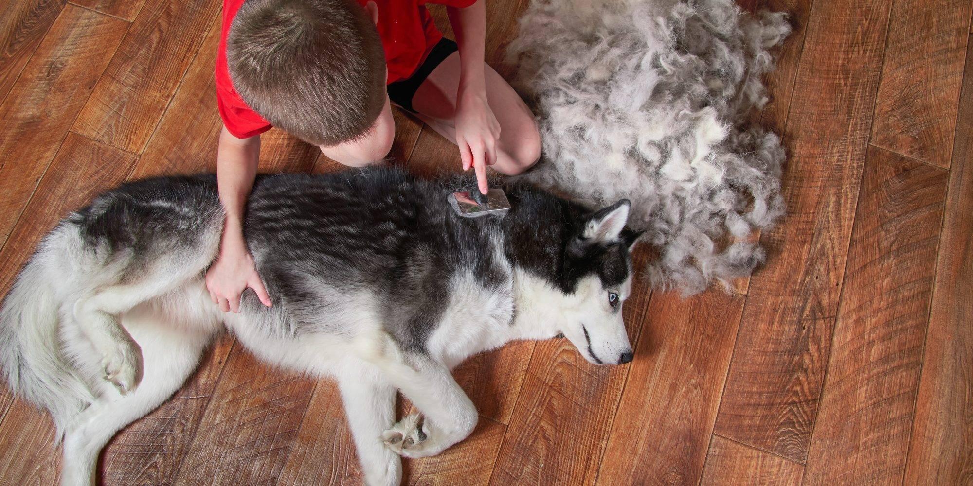 Собаки хаски: содержание и уход в домашних условиях