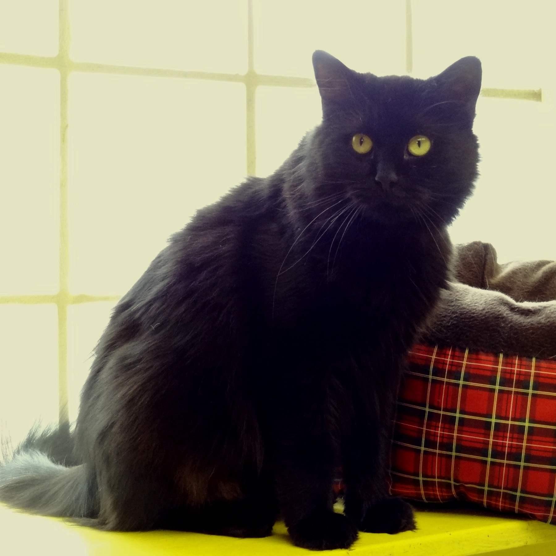 Шантильи-тиффани: кошки и коты