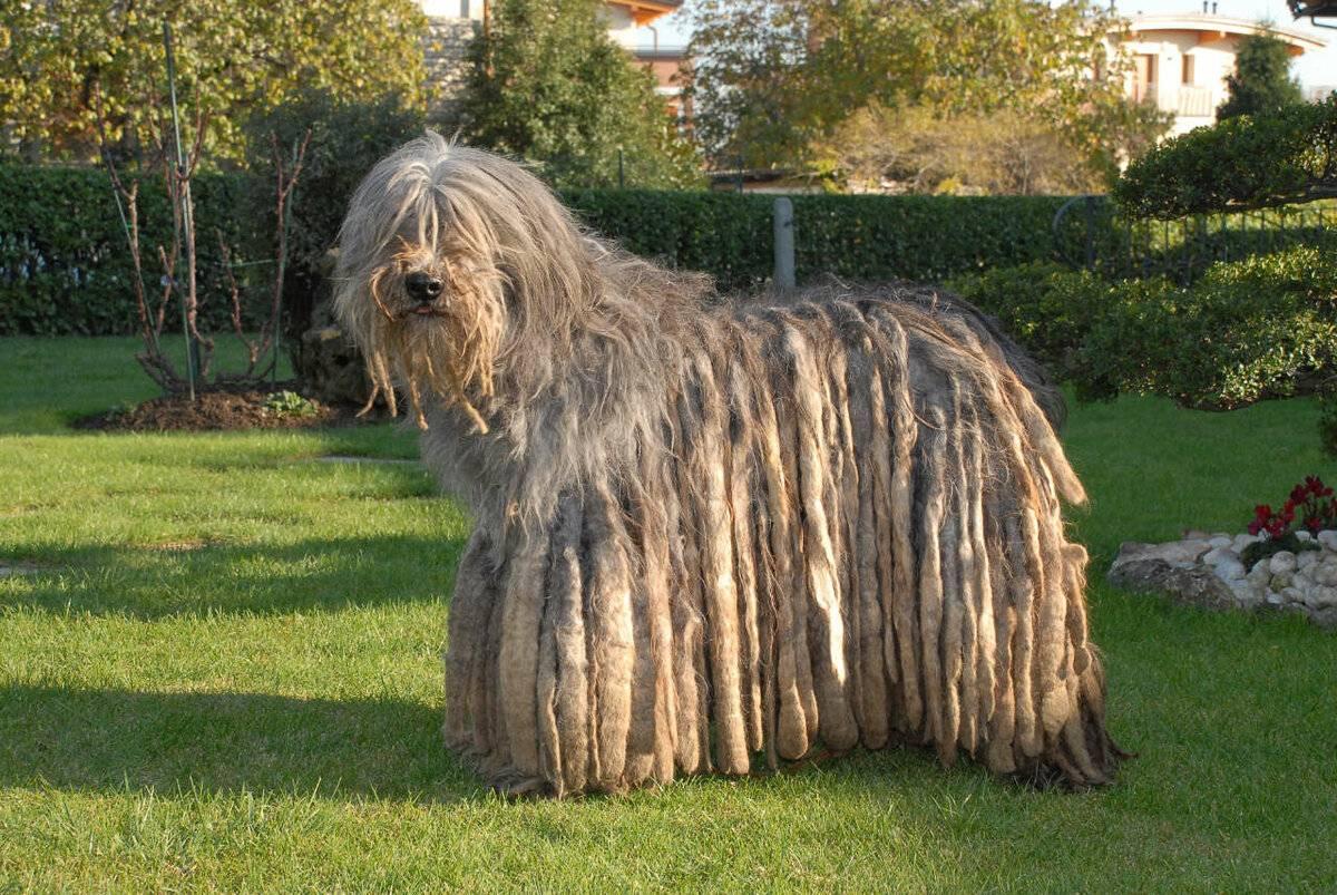 Порода собак бергамская овчарка и ее характеристики с фото