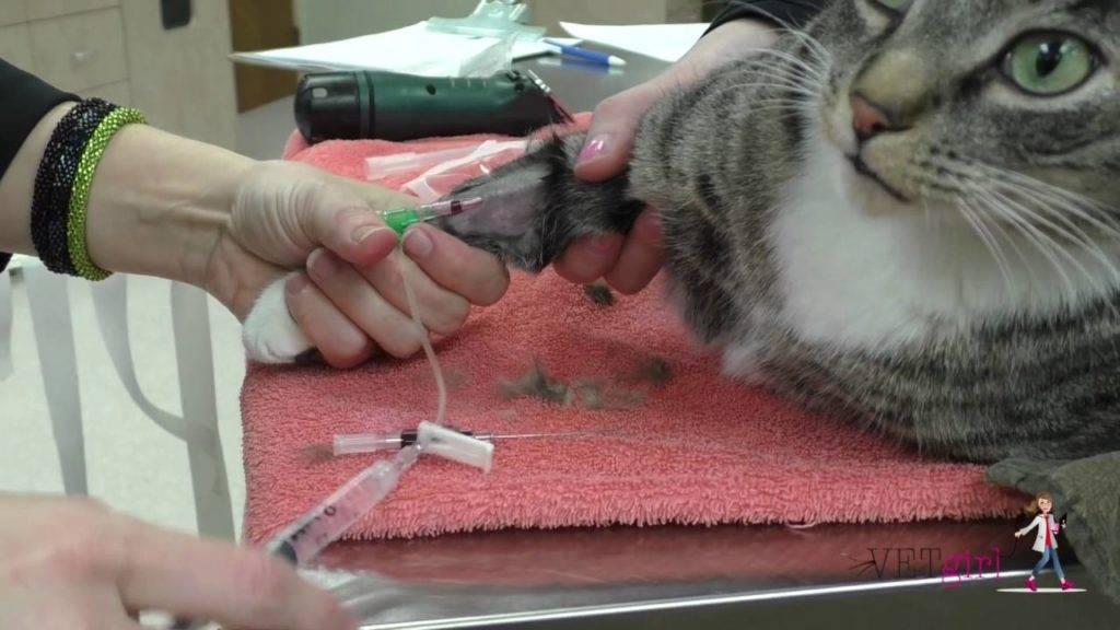Капельница кошке на дому: установка катетера, препараты